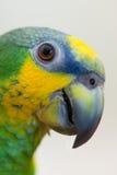 Amazonas-Grünpapagei portret Abschluss oben Lizenzfreies Stockbild