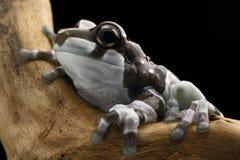 Amazonas-Milch-Frosch lizenzfreies stockfoto
