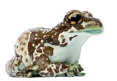 Amazonas-Milch-Frosch, Trachycephalus resinifictrix stockbilder