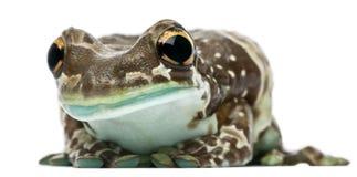 Amazonas-Milch-Frosch, Trachycephalus resinifictrix Lizenzfreies Stockbild