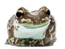 Amazonas-Milch-Frosch, Trachycephalus resinifictrix lizenzfreies stockfoto
