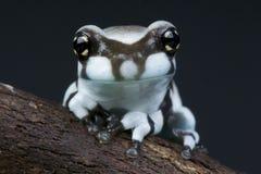 Amazonas-Milchfrosch Stockbild