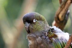 Amazonas-Papagei Lizenzfreies Stockbild