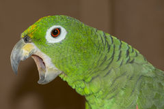Amazonas-Papagei Lizenzfreie Stockfotos
