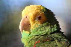 Amazonas-Papagei Lizenzfreies Stockfoto