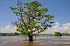 Amazonas-Saisonüberschwemmung Lizenzfreie Stockfotos