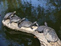 Amazonas-Schildkröten Stockfotos