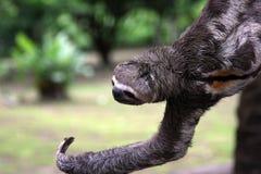 Amazonas-Trägheit hängt vom Zweig Stockfotografie