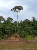 Amazonas tree. Special, tall, beathiful royalty free stock photo