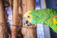 Amazone à tête jaune enchaînée par jambe mange de la nourriture Le tête jaune Photos libres de droits