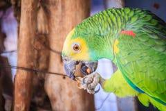 Amazone à tête jaune enchaînée par jambe mange de la nourriture Le tête jaune Photographie stock libre de droits