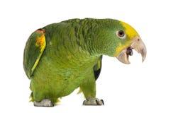 Amazone à tête jaune (6 mois), d'isolement Photos libres de droits