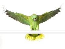 Amazone Jaune-naped photo libre de droits