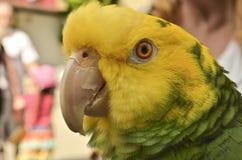Amazone papegoja Royaltyfri Fotografi