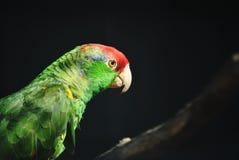 Amazone papuga Zdjęcie Royalty Free