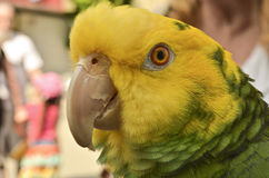Amazone parrot. Headshot a green and yellow amzone parrot  shot on a blurred city street background Royalty Free Stock Photography