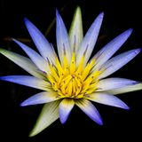 Amazone waterlilly Photo stock