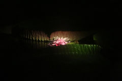 Amazone waterlily (cruziana de Victoria) dans un étang foncé s'est allumée par un projecteur Image stock