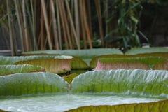 Amazone waterlily (cruziana de Victoria) pousse des feuilles dans un étang Photo stock