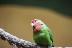Amazonia för guling-napedamazon papegoja nationalpark i territoriet av den Itaituba kommunen i tillståndet av Para nära gränserna arkivfoton
