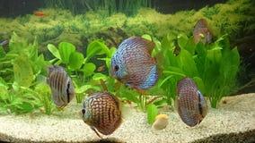 Tropical fresh water fish tank - blue dicus shoal royalty free stock photos