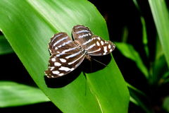 The amazonian butterfly. A calm amazonian butterfly in a leaf Stock Images