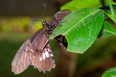 Big Black Butterfly  Stock Images