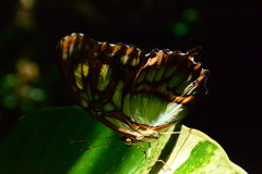 Amazonian butterfly. A butterfly that was hiding Inside the Amazonian rainforest Royalty Free Stock Photos