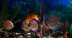 Amazonian Freshwater Disks. Symphysodon Royalty Free Stock Photo