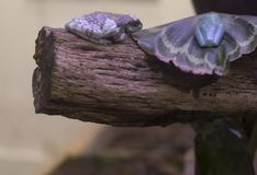 Amazonian Frogs on a Log. Amazon milk frog and gliding leaf frog on a limb Royalty Free Stock Image