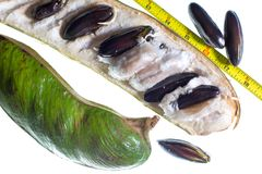 Amazonian inga edulis also known as ice cream beans. On white background with imperial measuring tape for size reference Royalty Free Stock Photos