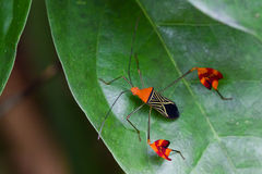 Amazonian Leaf-footed Bug Stock Image