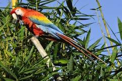 Amazonian Macaw Stock Images