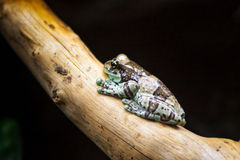 Amazonian milk frog sitting on a branch Stock Images