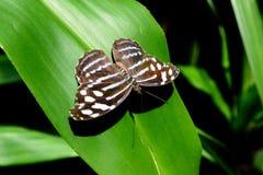 Amazonian motyl Obrazy Stock