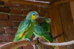Amazonian orange-winged called Honza royalty free stock photo