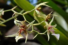 Amazonian orchid. The amazonian orchid stock photos