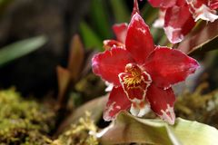 The amazonian orchid. Flower stock photography