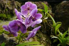 The amazonian orchid. Flower stock image