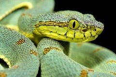 Amazonian palmviper, Bothrops bilineatus bilineatus. Is a beautiful and venomous snake species Stock Image