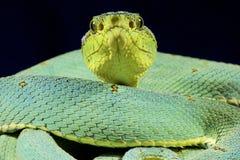 Amazonian palmviper, Bothrops bilineatus bilineatus. The Amazonian palmviper, Bothrops bilineatus bilineatus, is a highly venomous, cryptic treeviper species Stock Photos