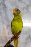 Amazonian parrot drawing. Quaker Parrot Stock Photo