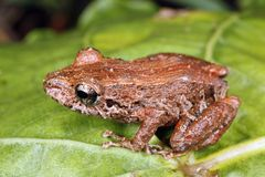 Amazonian rain frog Royalty Free Stock Photos