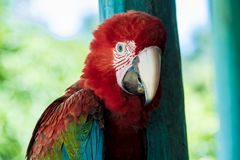Amazonian Red Macaw. The beautiful amazonian macaw, a typical species of southern Venezuela Royalty Free Stock Photography