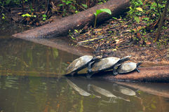 Amazonian River Turtles on the log Royalty Free Stock Photography
