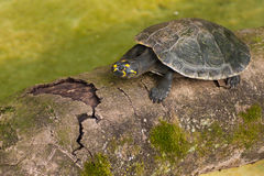 Amazonian Turtle Stock Photography