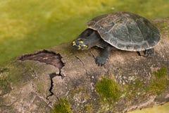 Amazonian Turtle Stock Photography