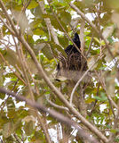 Amazonian Umbrellabird Royalty Free Stock Image