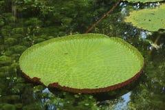 Amazonic som är brazillian waterlily på vatten Royaltyfri Foto