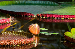 amazonica芽维多利亚水 免版税库存图片